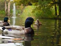 Colverts mâles sur le lac Photo stock