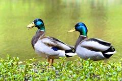 Colverts sur le côté de l'étang Photographie stock libre de droits