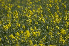Colza. Blooming on a field Stock Photos