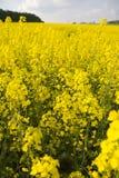 Colza. Yellow colza at springtime royalty free stock photo