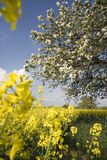 Colza. Yellow colza and apple tree at springtime Royalty Free Stock Photography
