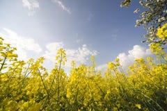 Colza. Yellow colza at springtime royalty free stock photos
