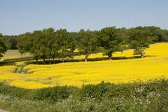 Colza amarela no campo inglês Reino Unido da flor Imagens de Stock