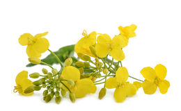 Free Colza Brassica Napus Royalty Free Stock Photo - 92057545