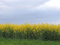 Colza, Brassica Napus Stock Images