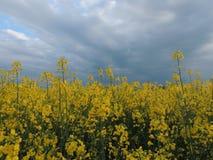 Colza, Brassica Napus Royalty Free Stock Image
