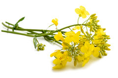 Colza Brassica napus Royalty Free Stock Images