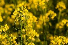 Colza (Brassica rapa) Stock Photography