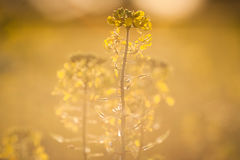 Colza (Brassica rapa) Royalty Free Stock Images