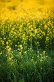 Colza (Brassica rapa) Royalty Free Stock Photography