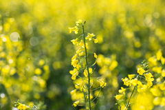 Colza (Brassica rapa) Stock Photography