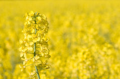 Colza culture. Close view of Colza in bloom field Stock Photos