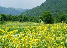 Colza Field. Scenics picture with colza and mountains (Arhiz, Russia Royalty Free Stock Images