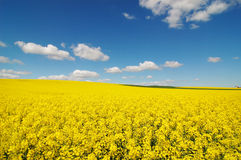 Colza Field. Landscape of colza field in North of France Stock Photos