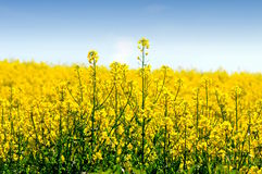 Colza field. Canola field yellow backround - detail flowers Royalty Free Stock Photo