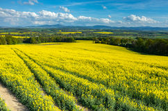 Colza field Stock Images