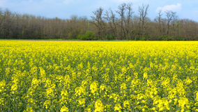 Colza field. In April, beautiful yellow meadow and trees in the background Stock Photography