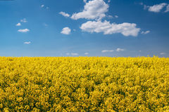 Colza field and blue sky Royalty Free Stock Photo