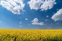 Colza field and blue sky Stock Image