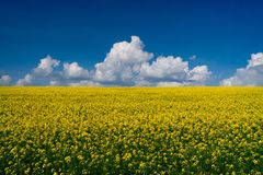 Colza field and blue sky Royalty Free Stock Image