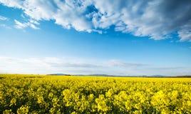 Colza field Royalty Free Stock Photography