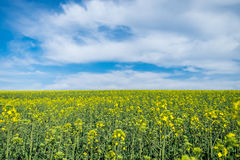 Colza field with blue sky. And white clouds Stock Photos