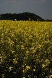 Colza field Royalty Free Stock Photo