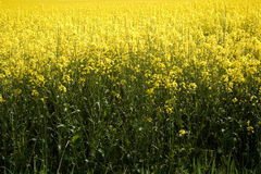 Colza field Stock Image