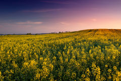 Colza field 1 royalty free stock image
