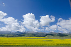 Colza Field. The landscape of Qinghai Lake in China Stock Images