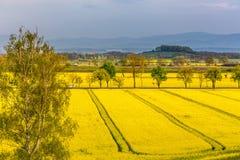 Colza field Stock Photography