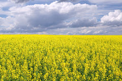 Colza field. Field of rapeseed with beautiful cloud - plant for green energy Stock Photos