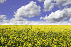 Colza field. Yellow colza field  with a blue sky Stock Photos