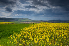 Colza fields of Lower Saxony , in Germany Royalty Free Stock Photo