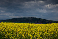 Colza fields of Lower Saxony , in Germany Royalty Free Stock Photography