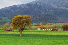 Colza fields in spring Stock Image