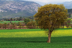 Colza fields in spring Royalty Free Stock Photo