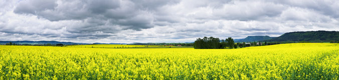 Colza fields under rainy sky Royalty Free Stock Photography