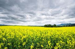 Colza fields under rainy sky Stock Photo