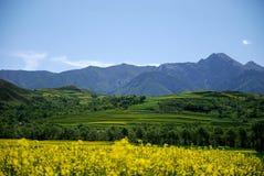 Colza-fiore e montagna Fotografia Stock