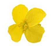 Free Colza Flower Brassica Napus Royalty Free Stock Image - 92057056