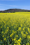 Colza Flower Field in ile de !france country Royalty Free Stock Photo