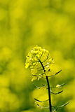 Colza flower on yellow field Royalty Free Stock Images