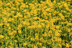 Colza flowers field Royalty Free Stock Images
