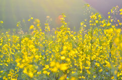 Colza flowers in the sunset light Royalty Free Stock Photo
