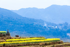 Colza i fiori e le costruzioni antiche cinesi in Wuyuan Fotografia Stock
