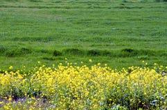 Colza i fiori sulla riva del fiume/paesaggio del giapponese a marzo Fotografia Stock