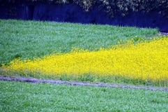 Colza i fiori sulla riva del fiume/paesaggio del giapponese a marzo Immagine Stock Libera da Diritti