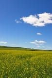 Colza il giacimento di fiori sotto cielo blu e la nube bianca Fotografie Stock Libere da Diritti