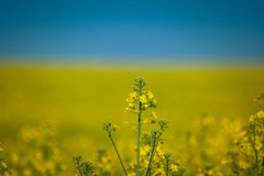 Colza. Just a photo of a colza fields blooming Royalty Free Stock Photography